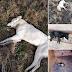 Ιωάννινα:Τουλάχιστον 10 ζώα νεκρά από φόλες στα Καρδαμίτσια..