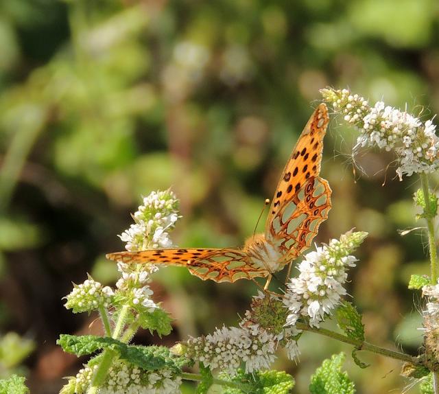 Mariposas de Pontevedra