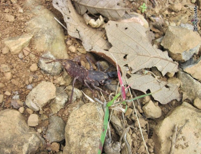 Vinagrillo (¿Mastigoproctus giganteus?)