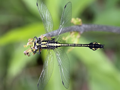 Skillet Clubtail Dragonfly