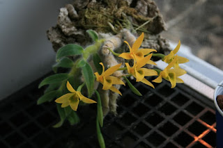 Dendrobium senile care and culture