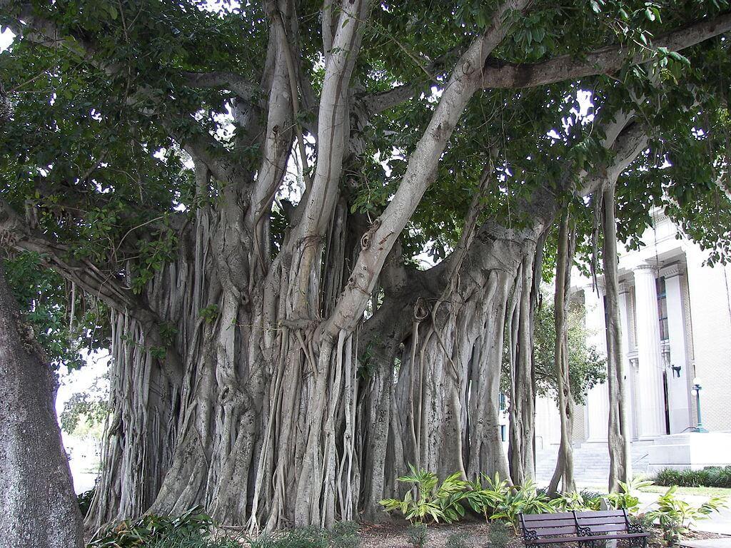 Pokok Yang Biasanya Berhantu