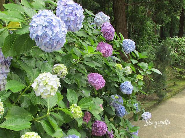 Hortensias en Kamakura