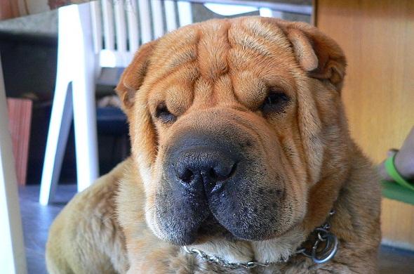 sushisharpei-كلب شاربي-الصيني