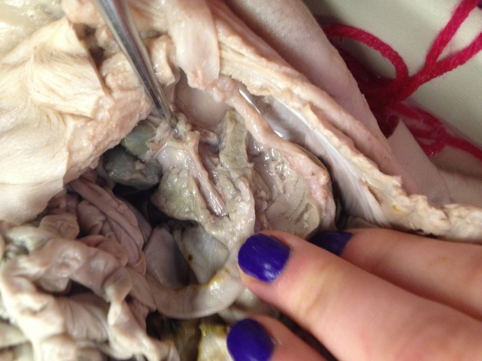Hambo First Dissection Digestive System Pancreas