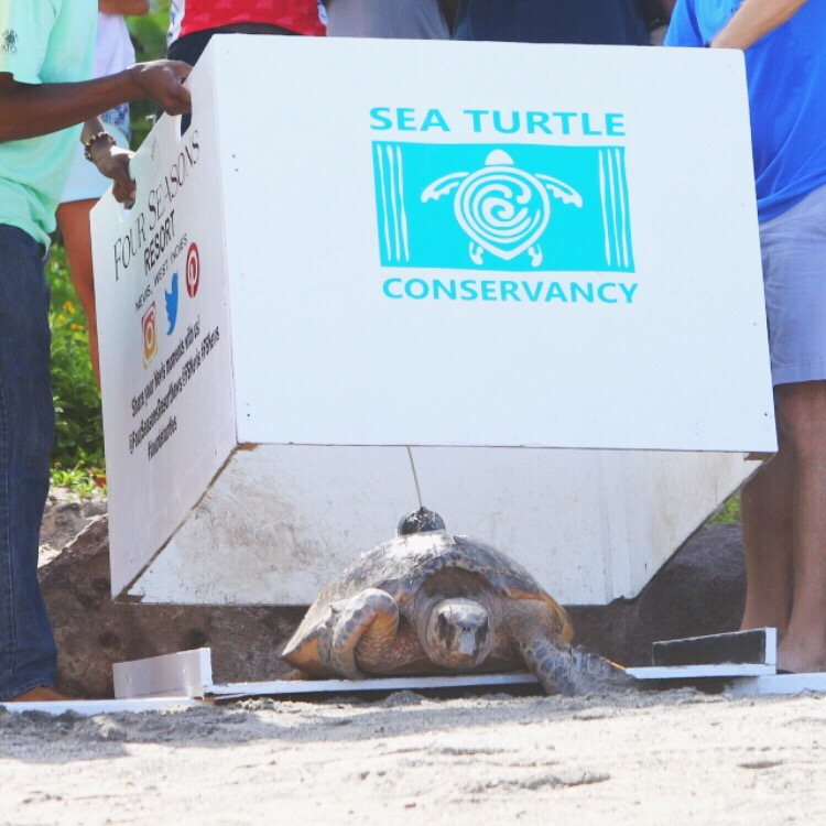 a sea turtle is released at Four Seasons Resort, Nevis