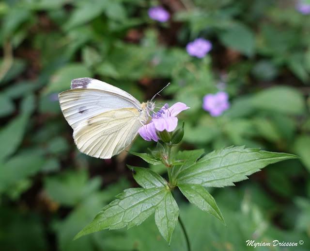 papillon piéride du choux sur géranium noueux