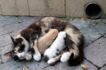 Gambar seekor kucing sedang menyusukan anaknya