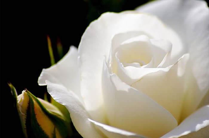 Vivencias Andrea Calvete Cultivo Una Rosa Blanca