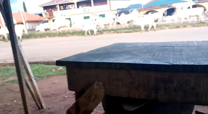 Cattle seen roaming in Ado Ekiti after gov Fayose signed open grazing prohibition bill