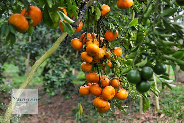 Vườn quýt của nhà nông thứ thiệt, trái rất sai quả