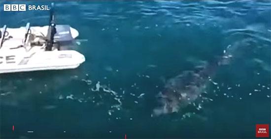 Grande Tubarão Branco persegue barco da polícia - Img BBC