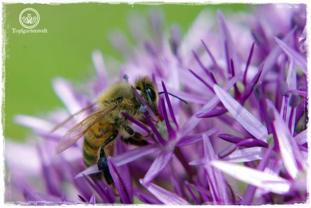 Gartenblog und Foodblog Topfgartenwelt Buchtipp Kreative Naturfotografie: Naturmotive vor der Haustüre erkennen - Biene auf Zierlauch