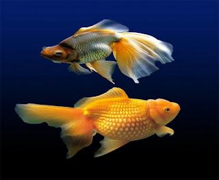 Ikan Hias Aquarium Mini Mas Koki