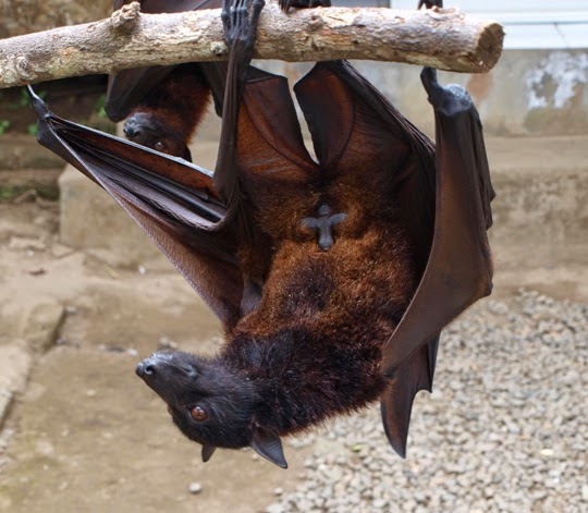 fruit bat flying fox