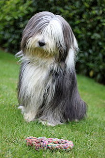 Bearded Collie-dogs-pets-dog breeds