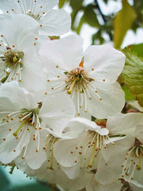 pure white cherry blossom in full bloom in spring