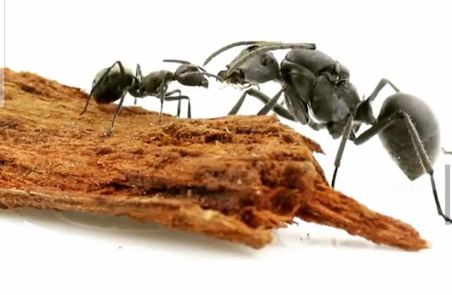 tips belajar perilaku dari semut, ciri-ciri semut yang harus kamu contoh. cara menangkap semut, cara mengusir semut