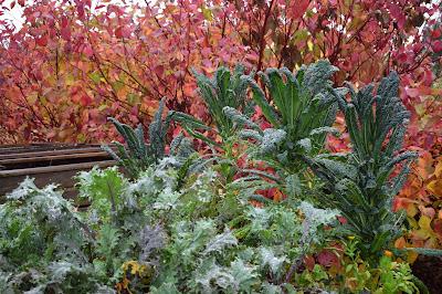 Brassica napus 'Red Russian', Brassica oleracea 'Nero di Toscana'