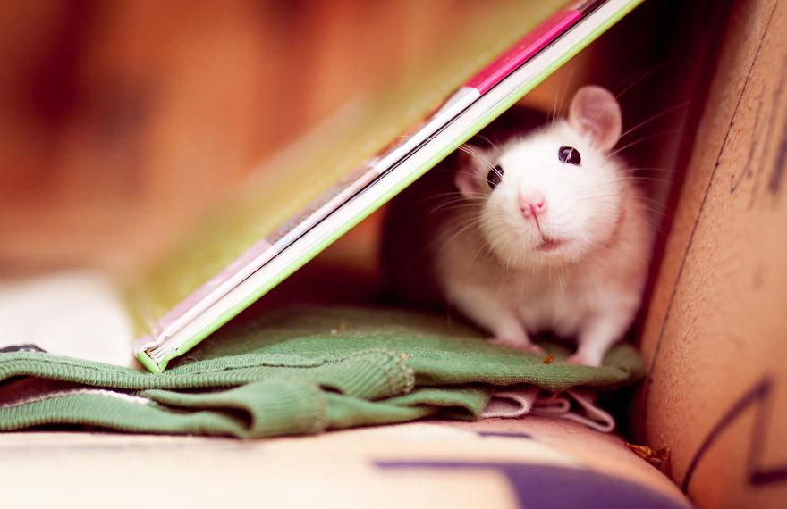 cute-pet-rats-14