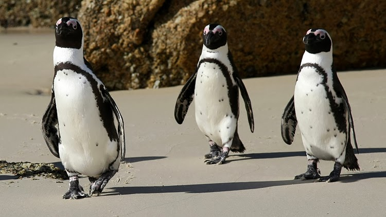 African Penguins: book recommendations - rubber boots and ...
