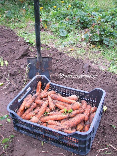 zbiory papryczki chilli, zbiory marchwi, ogród przydomowy