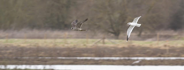 Peregrine moving at speed