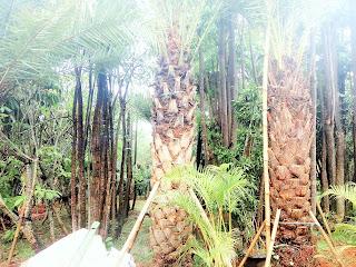 Pohon palem kurma berbuah
