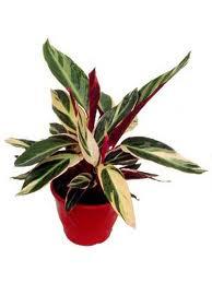 Paisagismo sustentabilidade e natureza plantas para for Maranta pianta