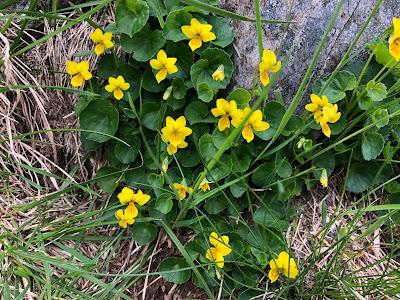 [Violaceae] Viola biflora – Yellow Violet (Viola con due fiori).