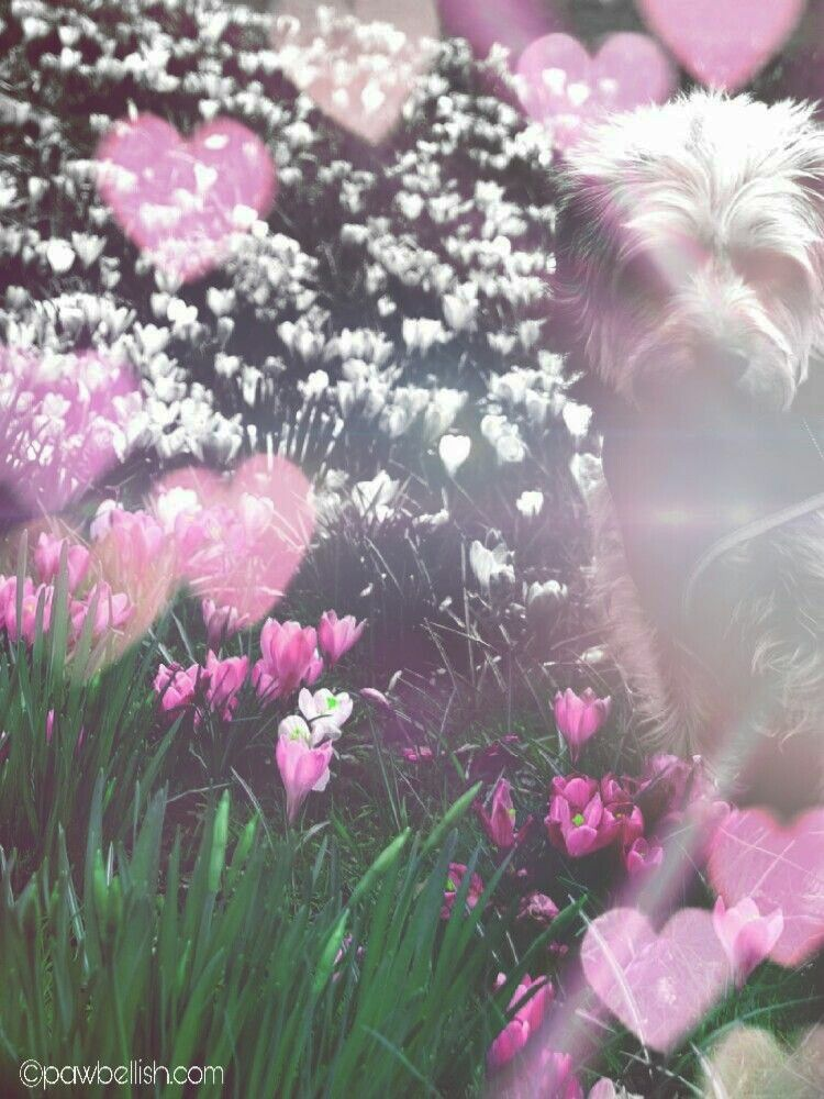Fluffy dog walking amongst the spring flowers