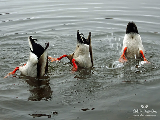 Funny Duck Photo