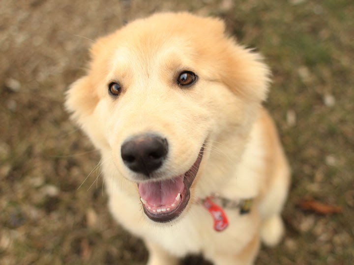 Golden Retriever Husky mix pup 1