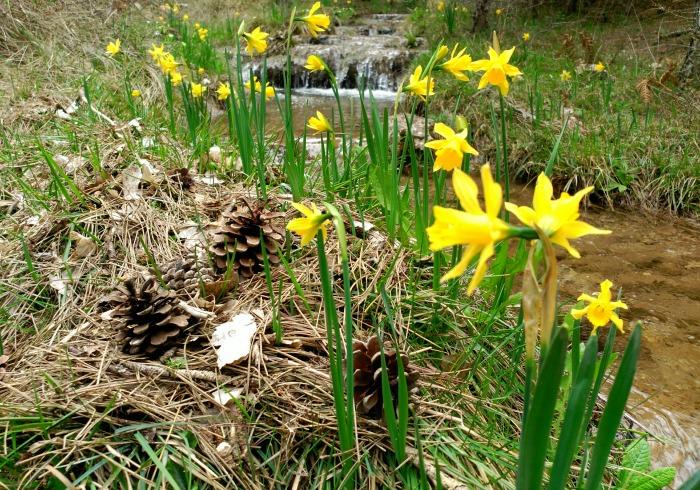 Narcissus alcaracensis