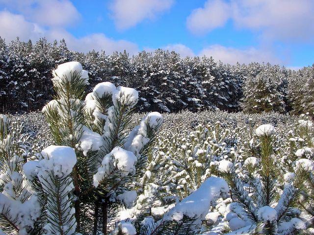 zima, śnieg, las, sosny