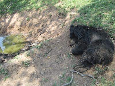 Tadoba,+near+Kolasa+-+Carcass+of+sloth+b