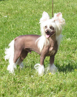 Chinese Crested Dog-pets-dog breeds