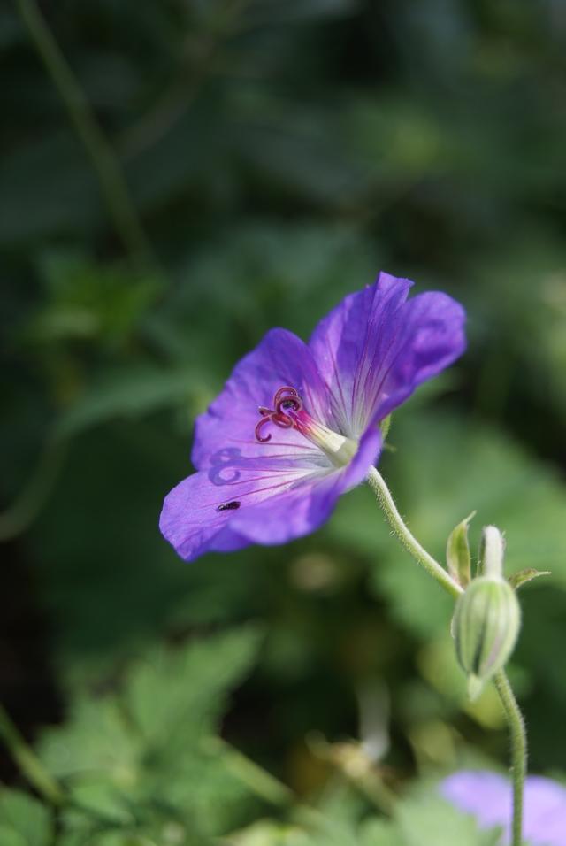 Garten Storchschnabel Geranium Rozanne blüht lange