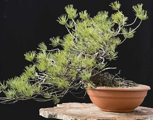 new European black pine