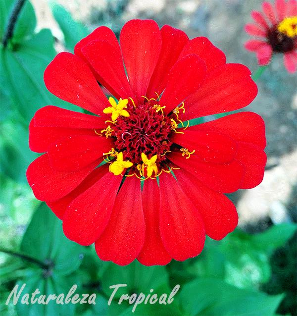 Variedad roja del clavelón, género Zinnia
