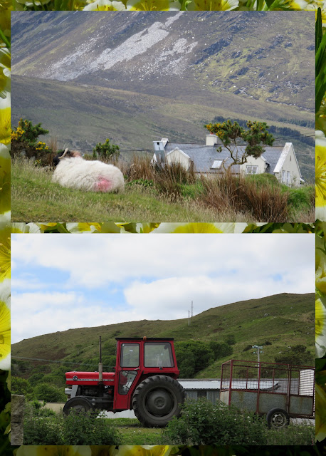 Cycling the Great Western Greenway - County Mayo, Ireland - Tractor and Sheep