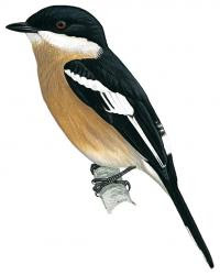 Hemipus plicatus