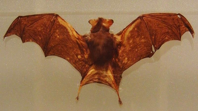 Stuffed Kitti's Hog-nosed Bat specimen in the National Museum of Nature and Science, Tokyo, Japan.