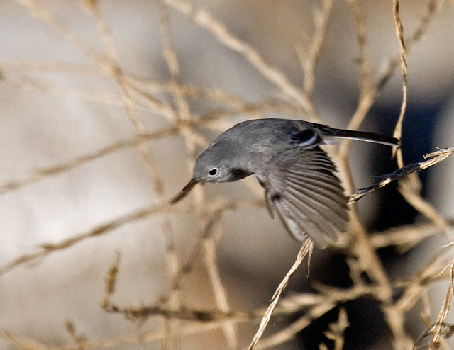 California Gnatcatcher in flight