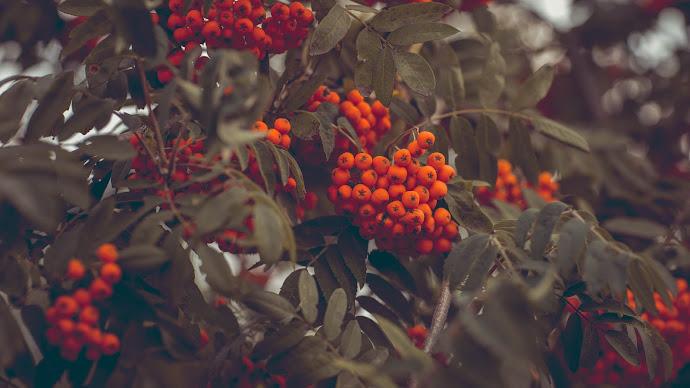Wallpaper: Mountain-Ashes. Fruits. Rowanberries