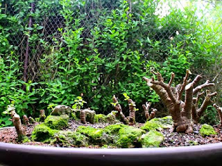 cara-memperoleh-bakalan-bonsai.jpg