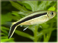 Penguin Tetra Fish Pictures