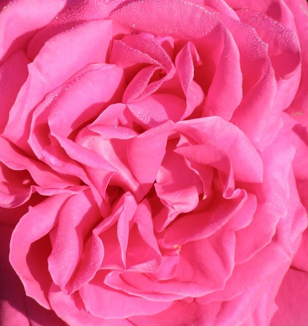 Maria Callas, Truskot, hybrid tea, gardening, roses, Salinas