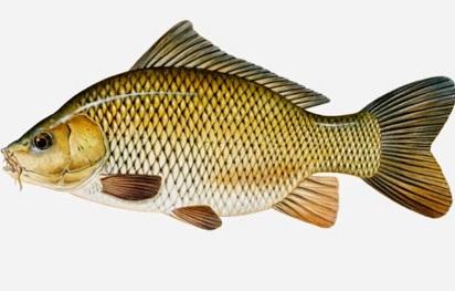 Cara Membedakan Ikan Mas Jantan dan Betina Dalam Budidaya ...