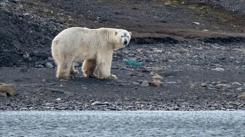 Emberre támadó jegesmedvét lőttek le a Spitzbergákon